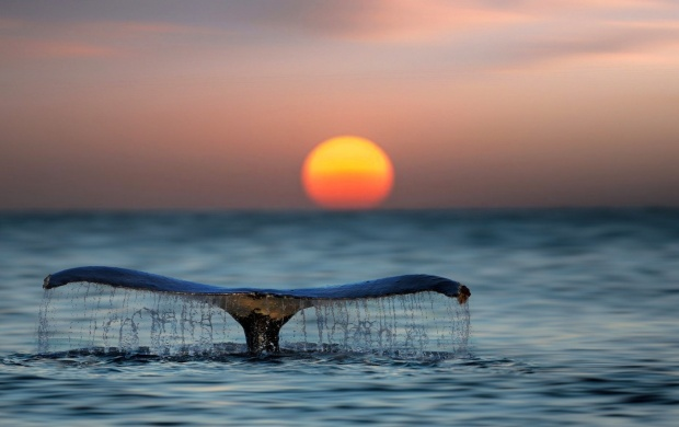 Whale Shark Tail Sunset (click to view)