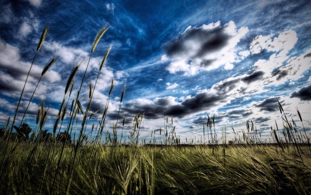 Wheat Field And Puffy Clouds (click to view)