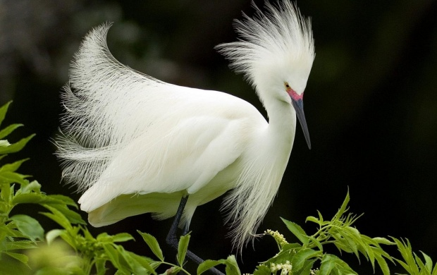 White African Heron (click to view)