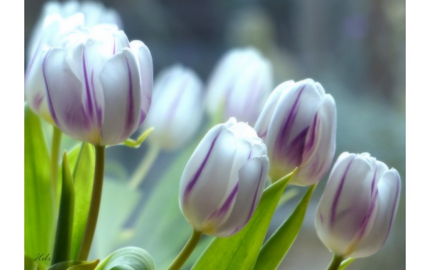 White And Purple Tulips (click to view)