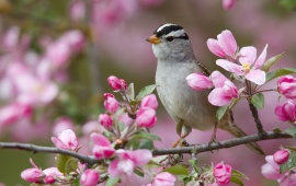 White Birds Sparrow Montana Pink Flowers