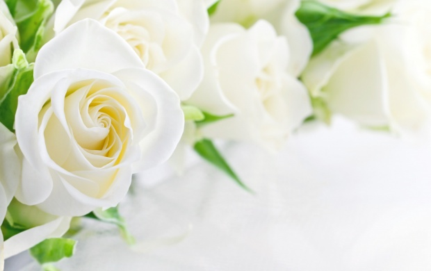 White Bud Roses Flowers (click to view)