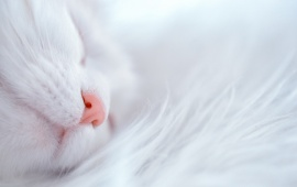 White Cat Sleep Cute Nose