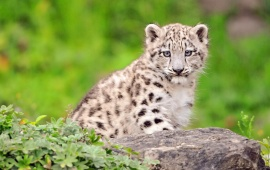 White Cutest Snow Leopard Cub