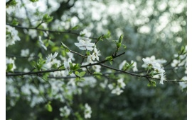White Flowers On Tree Branch