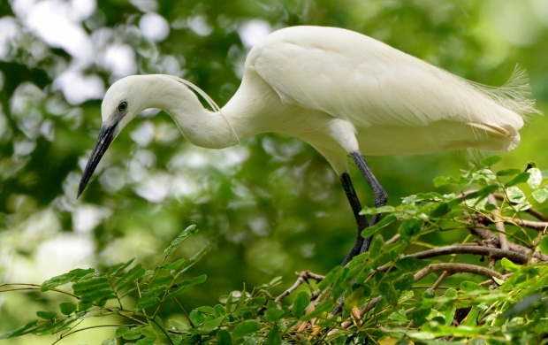 White Heron Sitting At Green Tree (click to view)