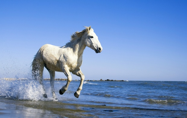 White Horse Running In Water (click to view)