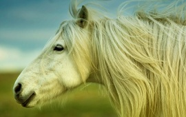 White Horse Silky Hair