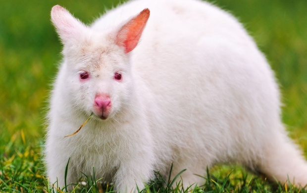White Kangaroo In The Grasses (click to view)