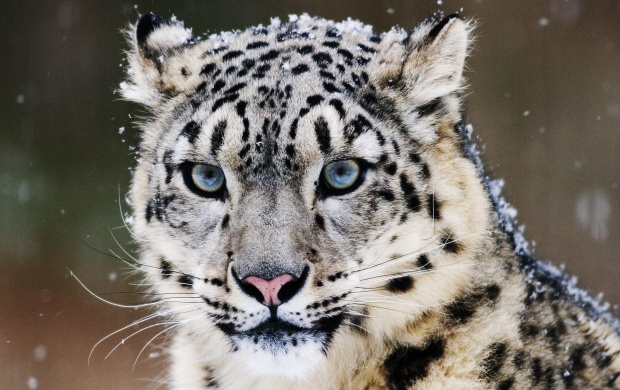 White Leopard (click to view)