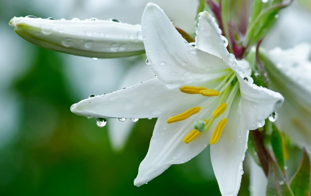 White Lily Flowers (click to view)