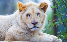 White Lion Blue Eyes