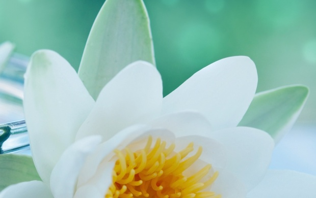 White Lotus Flower Wallpapers