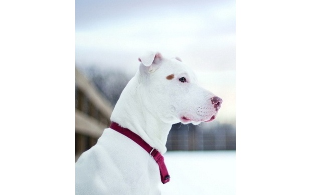White Pit Bull Dog (click to view)