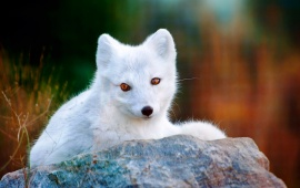White Polar Arctic Fox