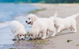 White Puppies At Beach