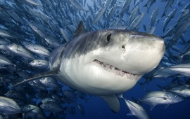 White Shark In Ocean