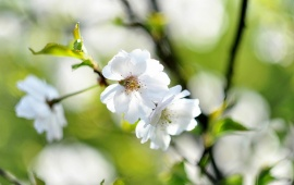 White Spring Cherry Flowers Branches