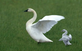 White Swan And Baby Swan