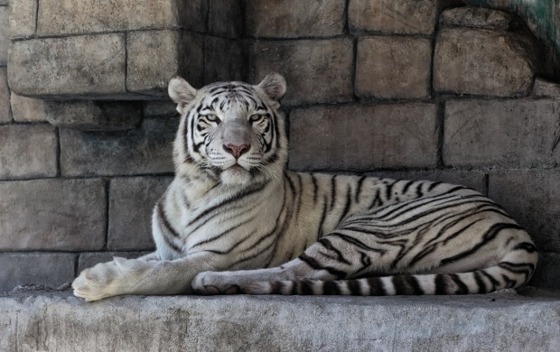 White Tiger At Rock Wall (click to view)