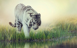 White Tiger At Water