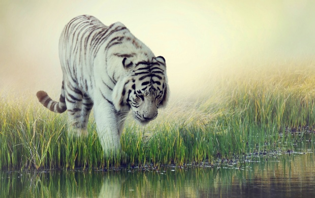 White Tiger At Water (click to view)