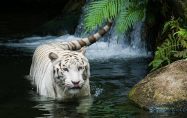 White Tiger Beautiful