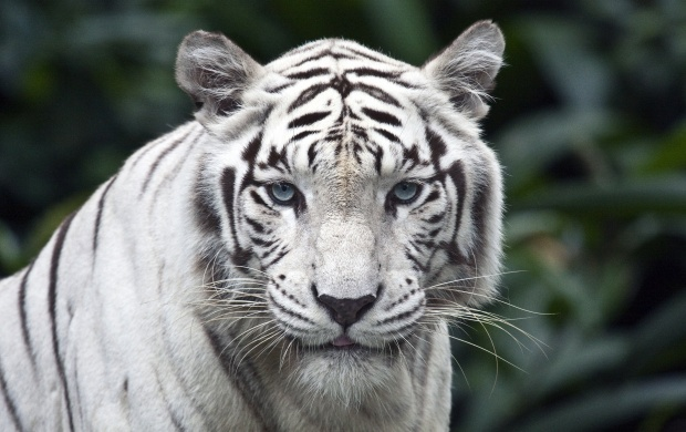 White Tiger Close Up (click to view)