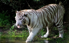 White Tiger In Lake
