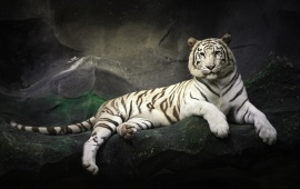 White Tiger Rest At Stones