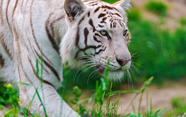 White Tigress Walking In The Grass (click to view)
