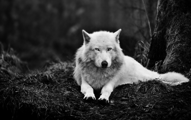White Wolf And Dark Forest (click to view)
