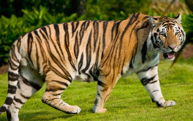 Wide Tiger (click to view)