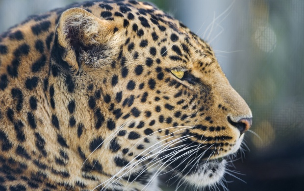 Wild Cat Leopard (click to view)