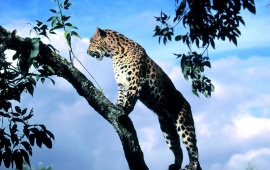 Wild Cat On The Tree
