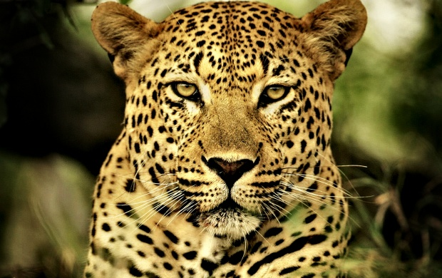 Wild Leopard (click to view)