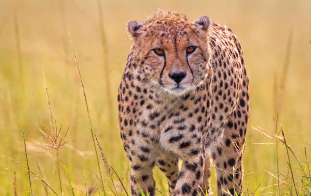 Wild Predator Cheetah In Grass (click to view)