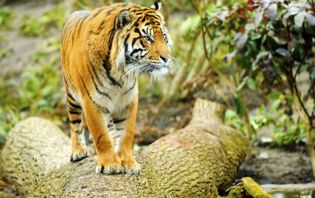Wild Tiger On Timber (click to view)