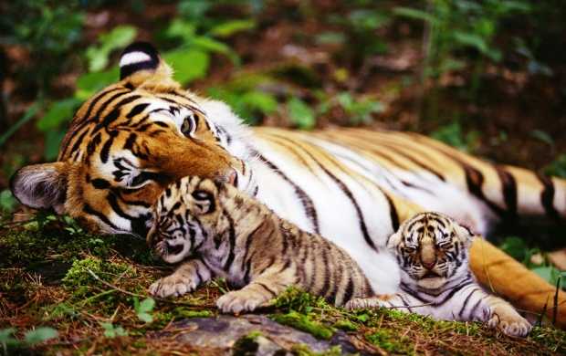 Wild Tiger Two Cubs (click to view)
