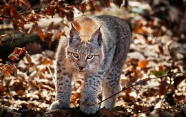 Wildcat In Autumn Forest