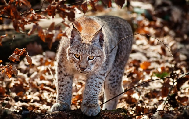 Wildcat In Autumn Forest (click to view)