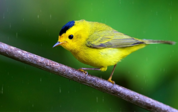 Wilson's Warbler Bird (click to view)