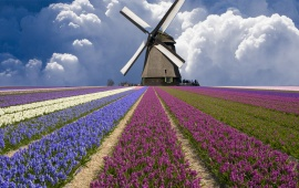 Windmill And Flower Field In Holland