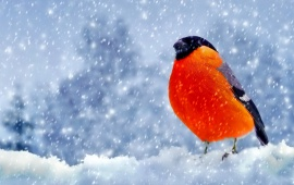 Winter Bullfinch