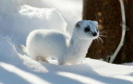 Winter Ferret Ermine