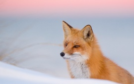 Winter Fox Red Nature