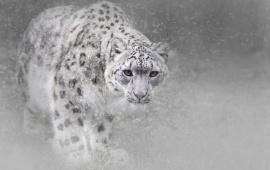 Winter Snow Leopard