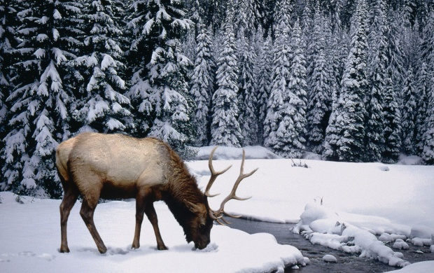 Winter  Stag (click to view)