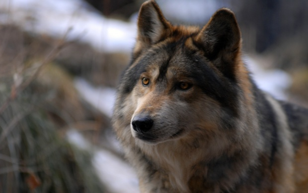 Wolf Beauty Without Vanity Beauty (click to view)