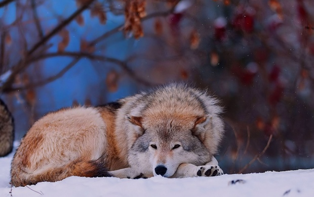 Wolf In Snow (click to view)